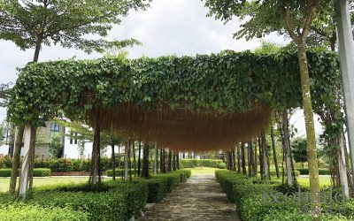 Metal Pergola naturally beauty with Curtain Ivy
